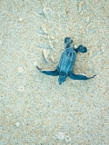 tartaruga-marinha-em-Trinidad-e-Tobago-1-
