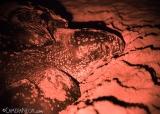 tartaruga-marinha-em-Trinidad-e-Tobago-6-