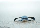tartaruga-marinha-em-Trinidad-e-Tobago-9-